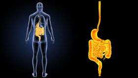Ζουμ στομαχιών και εντέρων με τη μεταγενέστερη άποψη οργάνων Στοκ εικόνες με δικαίωμα ελεύθερης χρήσης
