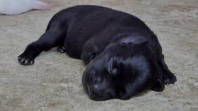 Ζουμ στο μαύρο ύπνο σκυλιών κουταβιών στο έδαφος φιλμ μικρού μήκους