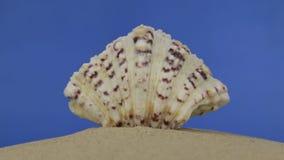 Ζουμ των όμορφων θαλασσινών κοχυλιών που βρίσκονται στην άμμο απομονωμένος φιλμ μικρού μήκους
