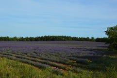Ζουμ Lavenders στην Προβηγκία, Γαλλία Στοκ εικόνες με δικαίωμα ελεύθερης χρήσης