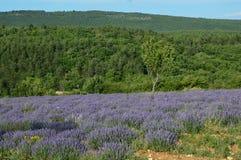Ζουμ Lavenders στην Προβηγκία, Γαλλία Στοκ Φωτογραφίες