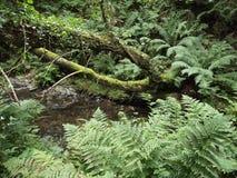 ζούγκλα ουαλλικά Στοκ Εικόνες