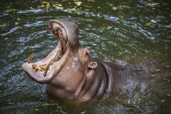 Ζωές Hippopotamus στο νερό Στοκ φωτογραφία με δικαίωμα ελεύθερης χρήσης