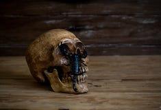 1 ζωή ακόμα Κρανίο που στηρίζεται στο παλαιό ξύλινο πάτωμα μπροστά από ένα scorp Στοκ Εικόνα