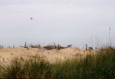 ζωή αμμόλοφων παραλιών ακόμ&al Στοκ Εικόνες