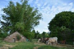ζωή γατακιών αγελάδων χωρών γατών στοκ φωτογραφία