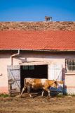 ζωή γατακιών αγελάδων χωρών γατών Στοκ φωτογραφίες με δικαίωμα ελεύθερης χρήσης