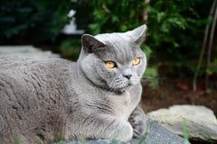 Ζωή γατών - βρετανικό shorthair Στοκ φωτογραφία με δικαίωμα ελεύθερης χρήσης