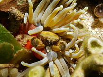 Ζωή θάλασσας ένα πράσινο προσκολμένος καβούρι σε ένα γιγαντιαίο anemone Στοκ Εικόνα