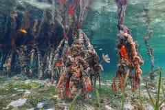 Ζωή θάλασσας στις ρίζες δέντρων μαγγροβίων κάτω από το νερό Στοκ Φωτογραφία