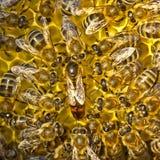 Ζωή και αναπαραγωγή των μελισσών Η μέλισσα βασίλισσας γεννά τα αυγά στο honeyco Στοκ Εικόνες