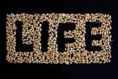 Ζωή και σίτος Ζωή λέξης που διαμορφώνεται από τα δημητριακά του σίτου στο μαύρο υπόβαθρο εικόνες οικολογίας έννοιας πολύ περισσότ Στοκ φωτογραφία με δικαίωμα ελεύθερης χρήσης