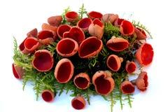 Ζωή μανιταριών ακόμα με τα κόκκινα μανιτάρια στο βρύο στοκ φωτογραφίες