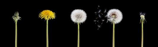 ζωή πικραλίδων κύκλων Στοκ Εικόνα