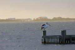 Ζωή πουλιών Goolwa Στοκ εικόνα με δικαίωμα ελεύθερης χρήσης