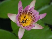 Ζωή στο λουλούδι λωτού στοκ εικόνα
