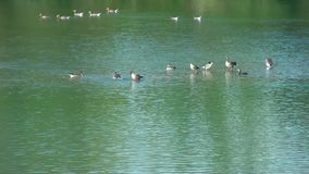 Ζωή στο νερό Χήνες και cormoran - στη λίμνη απόθεμα βίντεο