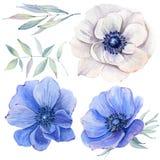 Ζωγραφισμένα στο χέρι λουλούδια anemone watercolor που τίθενται στο εκλεκτής ποιότητας ύφος Στοκ Φωτογραφία