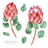 Ζωγραφισμένη στο χέρι συλλογή με το protea και τα φύλλα βασιλιάδων watercolor απεικόνιση αποθεμάτων