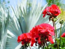 Ζωηρά κόκκινα λουλούδια Στοκ εικόνα με δικαίωμα ελεύθερης χρήσης