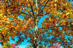 Ζωηρά φθινοπωρινά χρώματα των φύλλων στο πάρκο Στοκ Εικόνες
