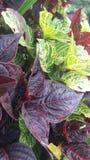Ζωηρά φύλλα χρώματος των φυτών στοκ φωτογραφίες με δικαίωμα ελεύθερης χρήσης