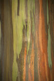 Ζωηρά χρώματα των ζωηρών χρωμάτων δέντρων ευκαλύπτων ουράνιων τόξων Στοκ φωτογραφία με δικαίωμα ελεύθερης χρήσης