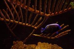Ζωηρή ζωηρόχρωμη υδρόβια ζωή στο σκοτεινό ενυδρείο επίδειξης στοκ εικόνα