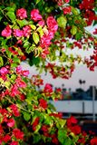 Ζωηρή φούξια ρόδινη χρωματισμένη ακτή Καλιφόρνιας λουλουδιών Bougainvillia Στοκ φωτογραφίες με δικαίωμα ελεύθερης χρήσης