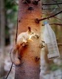 Ζωηρός μακρο αστείος γούνινος σκίουρος φωτογραφιών στοκ εικόνες με δικαίωμα ελεύθερης χρήσης
