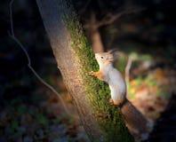 Ζωηρός μακρο αστείος γούνινος σκίουρος φωτογραφιών στοκ εικόνες