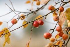 Ζωηρόχρωμα άγρια μήλα σε έναν κλάδο το φθινόπωρο με τη θαμπάδα Στοκ Εικόνες