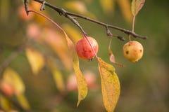 Ζωηρόχρωμα άγρια μήλα σε έναν κλάδο το φθινόπωρο με τη θαμπάδα Στοκ Εικόνα