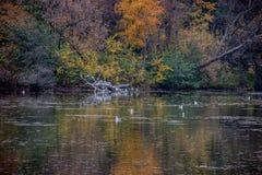 ζωηρόχρωμα δέντρα φθινοπώρ&omicr Πουλιά στο νερό, χρώματα πτώσης Στοκ Φωτογραφίες