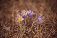 Ζωηρόχρωμα ανθίζοντας πορφυρά ιώδη αλπικά λουλούδια vernus κρόκων heuffelianus κρόκων στην άνοιξη στοκ εικόνα
