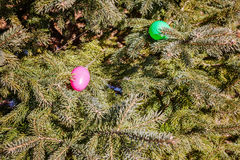 Ζωηρόχρωμα αυγά στους κλάδους δέντρων γουνών Αυγό που κυνηγά: παραδοσιακή οικογενειακή δραστηριότητα την ημέρα Πάσχας Στοκ φωτογραφία με δικαίωμα ελεύθερης χρήσης