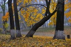 Ζωηρόχρωμα δέντρα φθινοπώρου με το κιτρινισμένο φύλλωμα στο πάρκο φθινοπώρου Στοκ Φωτογραφία