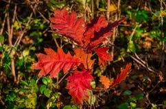 Ζωηρόχρωμα δρύινα κόκκινα φύλλα autum στοκ φωτογραφίες με δικαίωμα ελεύθερης χρήσης