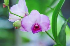 Ζωηρόχρωμα ελαφριά λουλούδια ορχιδεών puple που ανθίζουν στον κήπο στοκ εικόνα