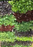 Ζωηρόχρωμα επίπεδα του κόκκινου μαρουλιού, του πορφυρού Kale και των πράσινων μαρουλιών Στοκ Φωτογραφίες