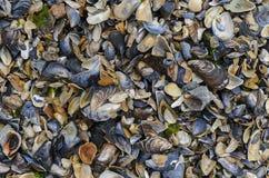 Ζωηρόχρωμα θαλασσινά κοχύλια σε Μαύρη Θάλασσα Στοκ Εικόνα