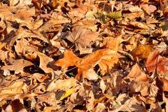 Ζωηρόχρωμα και καφετιά φύλλα φθινοπώρου, σύσταση, υλικό και υπόβαθρο Αφήνει τα φύλλα από τα δέντρα, κλείνει επάνω Στοκ Εικόνες