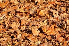 Ζωηρόχρωμα και καφετιά φύλλα φθινοπώρου, σύσταση, υλικό και υπόβαθρο Αφήνει τα φύλλα από τα δέντρα, κλείνει επάνω Στοκ Φωτογραφίες