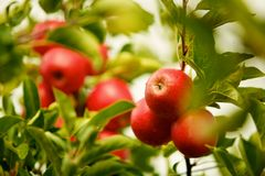 Ζωηρόχρωμα κόκκινα μήλα Στοκ εικόνα με δικαίωμα ελεύθερης χρήσης