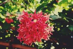 Ζωηρόχρωμα λουλούδια αναρριχητικών φυτών του Ρανγκούν κινηματογραφήσεων σε πρώτο πλάνο στοκ εικόνες