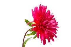 Ζωηρόχρωμα λουλούδια αστέρων που απομονώνονται στο άσπρο υπόβαθρο Στοκ Εικόνες
