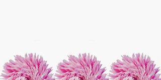 Ζωηρόχρωμα λουλούδια αστέρων που διαμορφώνουν ένα πλαίσιο σε ένα υπόβαθρο, ελάχιστη έννοια, τοπ άποψη, διάστημα αντιγράφων για το στοκ φωτογραφίες