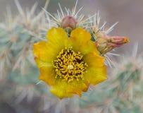 Ζωηρόχρωμα λουλούδια ερήμων Στοκ Εικόνες