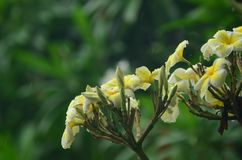 Ζωηρόχρωμα λουλούδια με τις πτώσεις του νερού μετά από τη βροχή Ρόδινη ηλιοφάνεια λουλουδιών αζαλεών όμορφο ροζ λουλουδιών Στοκ Φωτογραφίες