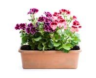 Ζωηρόχρωμα λουλούδια πελαργονίων ορθογώνιο flowerpot που απομονώνεται στοκ εικόνες